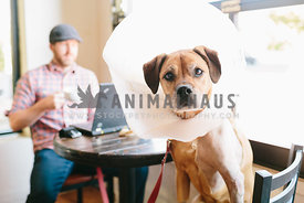 dog wearing cone of shame sits in coffee shop with hipster man