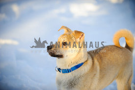jindo dog puppy with snow its face