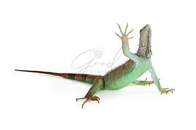 Iguana Lizard Raising Hand Up