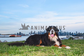 bernese mountain dog lying in grass with downtown Vancouver in the background