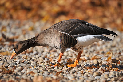 Oie rieuse - Greater White-fronted Goose (Anser anser)