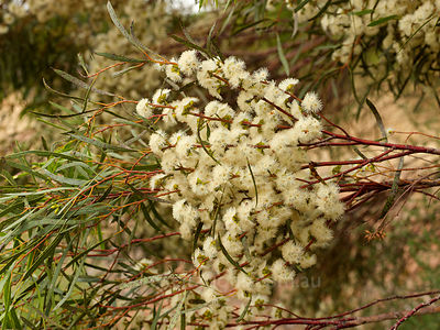 Mallee tree in flower