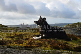 Border Collie lieing amongst rocks on mountains edge