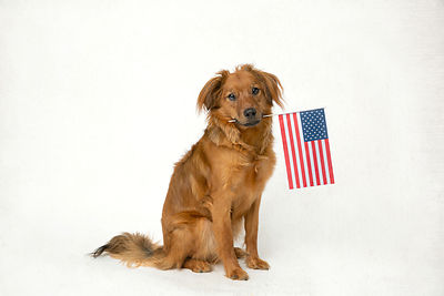 Dog on white background holding American flag