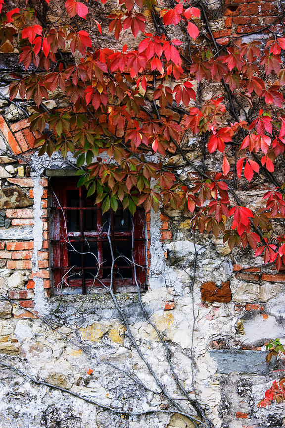 Old Stone Cottage Covered with Virginia Creeper, Italy