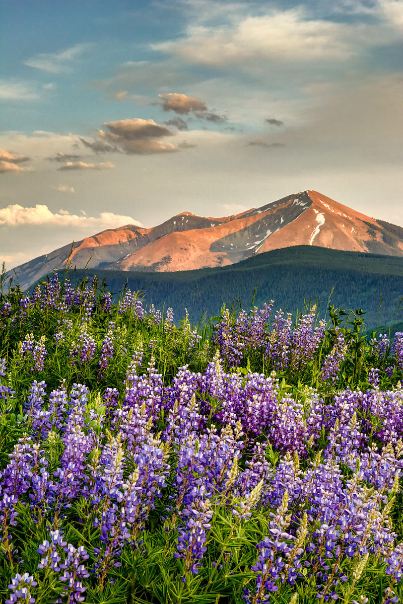 Crested Butte Lupine