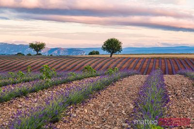 Lavender field and tree at sunrise, Provence, France
