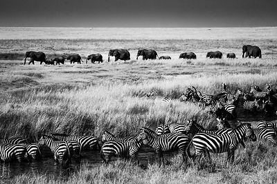 3841-Elephant_Zebra-The_wild_Animals_Lines_Laurent_Baheux