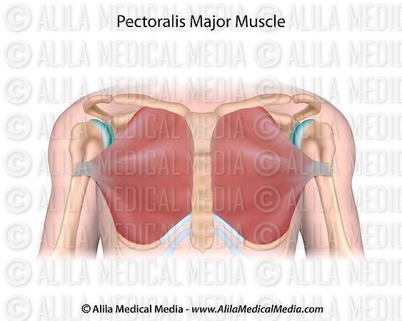 Pectoralis major, unlabeled.
