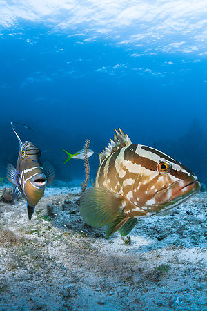 Triggerfish and grouper