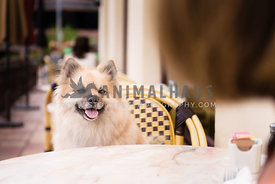 Pomeranian sitting at a table at a cafe