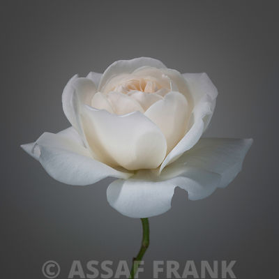 White rose flower close-up