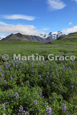 Nootka (Alaskan) Lupins (Lupinus nootkatensis) with glacial landscape of Skaftafell National Park, from Road 1 at 16º54' W, A...