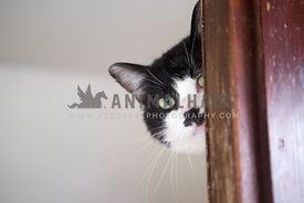 black and white cat peering behind wooden door