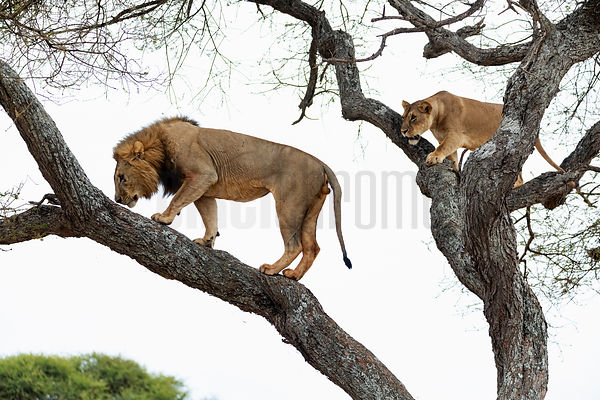 Male Lion Examines the Scent of a Lioness in an Acacia Tree
