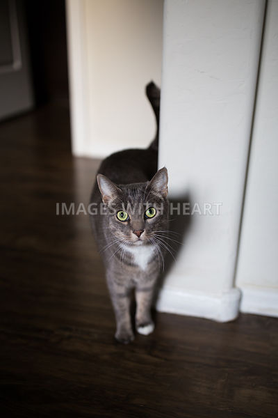 Grey Tabby Cat in Hallway