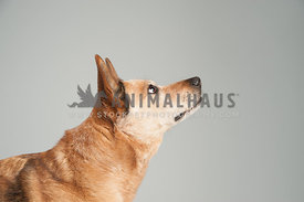 brown cattle dog mix head shot looking serious to the right