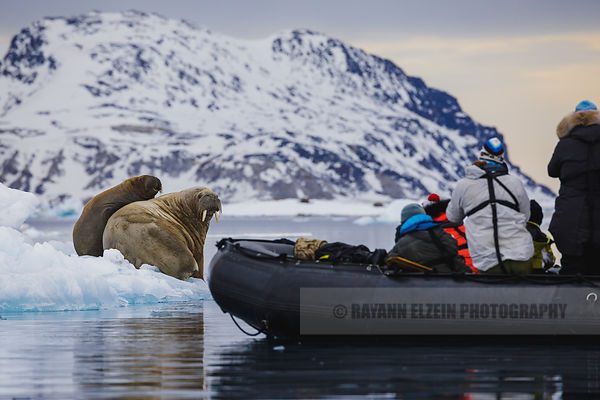 Photographing the walruses from the zodiac
