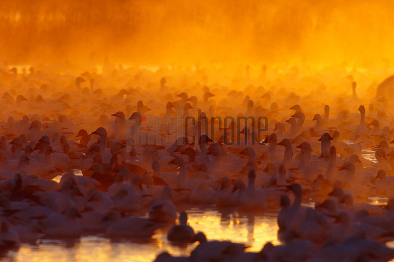 Snow Goose (Chen caerulescens) wintering flock at sunrise