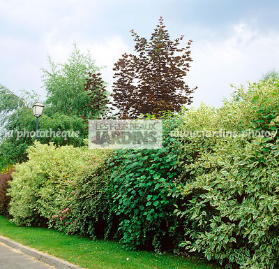 Betula pendula, Betula verrucosa, Bush, Deciduous, Grossulariaceae, Natural mixed hedge, Norway Maple, Plant, Tree, Flowering currant, Ornamental foliage, Plants, Square, Variegated, Variegated hedge