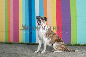 brindle and white large mastiff mix sitting in front of colorful striped wall