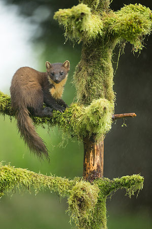 Pine Marten in heavy rain