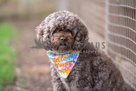 "close up of brown cockapoo wearing colorful ""Hello Spring"" bandana"