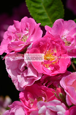 Rosa 'Ariel' (rose) Evecoso, rosier hybride moderne, Obtenteur : Eve 2013, Collection André Eve, Pithiviers, France