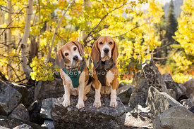 Beagles hiking in fall