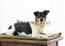 small black and white terrier mix with yellow bow tie on small chest