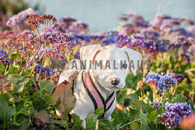 White Puppy with one eye in purple flowers
