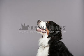 Bernese Mountain Dog sitting profile in studio with grey background