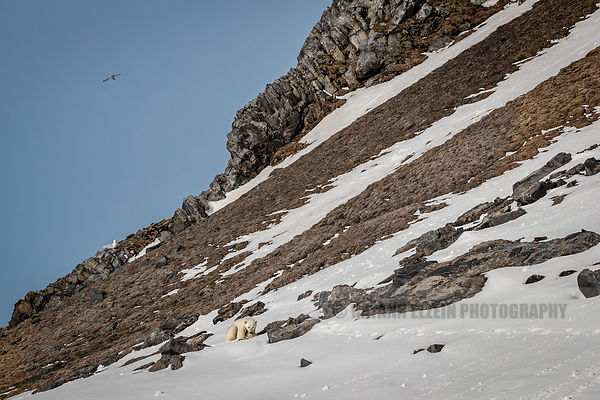 Polar bear eating a kittiwake on Karl XII island
