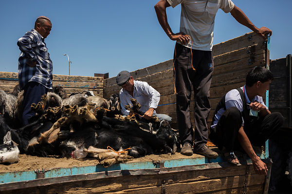 Men Tying up Goats after being Sold at the Tolkuchka-Bazaaar