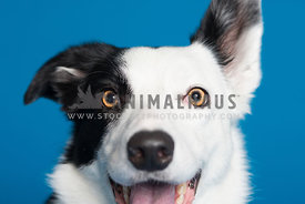 Close up of border collie's face