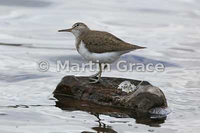 Common Sandpiper (Actitis hypoleucos) standing on a rock looking upwards,  Lochindorb, Inverness-shire, Scotland: Image 4 of 4