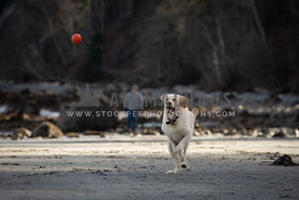 Yellow labrador retriever running after  a ball on the beach with her owner in the background