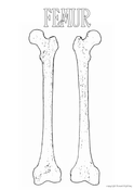 Femur Colouring In #2
