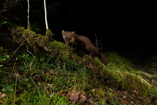 Pine Marten on the forest floor...
