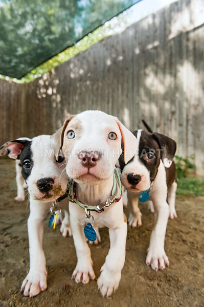 Pack of three puppies