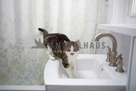 tabby cat in sink with water running