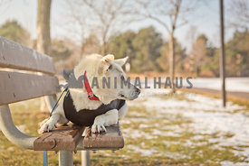 white german shepherd on park bench