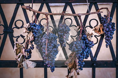 Red grapes drying out