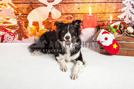 border collie dog with toys and christmas scene