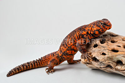 Uromastyx Lizard climbing onto rock