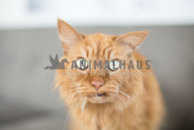 Close up of old Orange Tabby cat with lopsided ear and snaggletooth