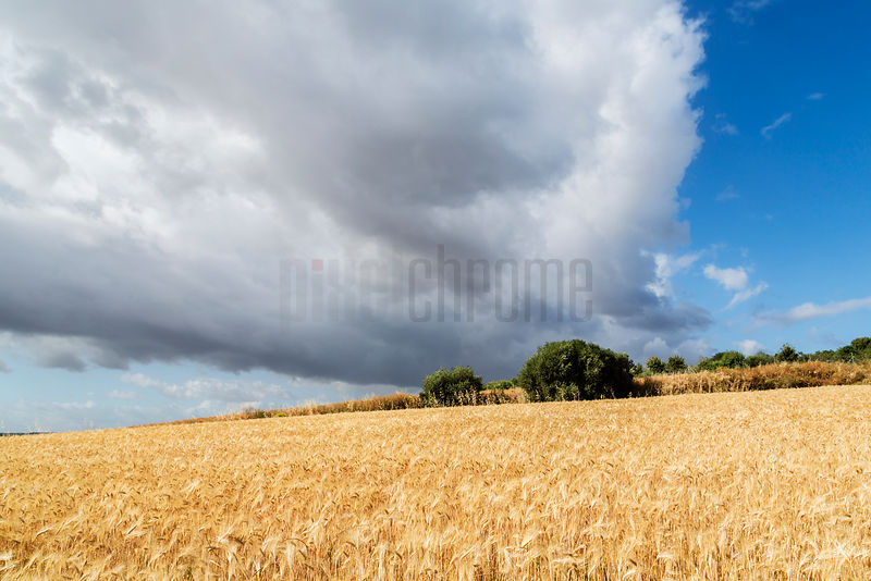 Large Cumulus Cloud Above a Field of Wheat