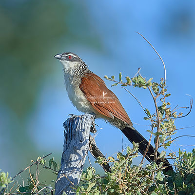 Coucal in plain sight
