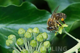 European Honey Bee Apis mellifera on Ivy Norfolk