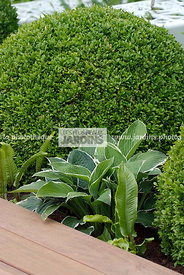Ball shaped, Bush, Buxus, Evergreen, Perennial, Sphere shaped, Topiary, Common Box, Digital